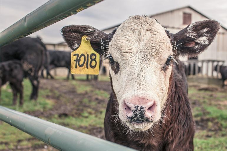 calf-362170_1920.jpg